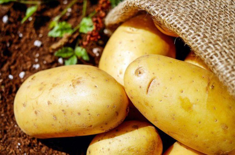 Praga de traça que mata batata ameaça agricultura em Portugal